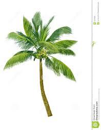 coconut tree essays mitosis essay coconut tree essays