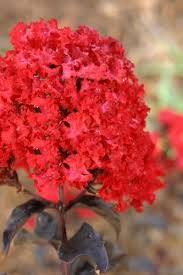 How And When To Prune a Crape Myrtle Tree The Right & Best Way - Wilson  Bros Gardens