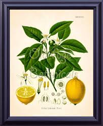 Kohler 11x14 Botanical Print Vintage Art Plate Chart Yellow Pale Orange Citrus Lime Lemon Tree Kitchen Room Wall Decor To Frame Lp0703
