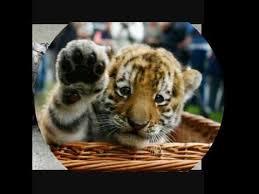 cute baby tiger. Unique Cute Cute Baby Tiger Pics For Baby Tiger