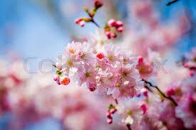 Sakura Flower On Nature Background Stock Image