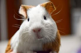guinea pigs are oh so easy to maintain guaranteeing you warm fuzzy bundles of love that don t require constant attention yet the truth is