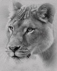 lioness black and white. Contemporary Lioness Female Lion Mixed Media  Black And White Lioness By Diane Rada In N