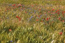 Resultado de imagem para campo flores