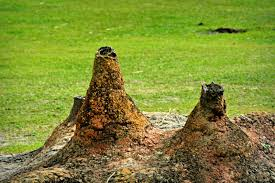Image result for keep the trees and shrubs trimmed to avoid termite