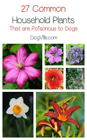 27 poisonous plants for dogs the common dangers