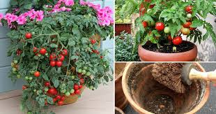 container gardening tomatoes.  Container 13 Basic Tomato Growing Tips For Containers To Grow Best Tomatoes  Balcony  Garden Web On Container Gardening