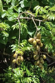 Stark Custom Graft 2N1 Plum  Plum Trees  Stark Brou0027sPlum Tree Flowers But No Fruit