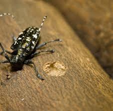Asian Longhorned Beetle Crandall Park Trees