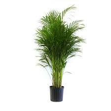 Areca Palm in Pot
