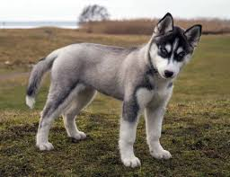 siberian husky puppy 5