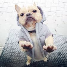 Image result for FRENCH BULLDOG, SPORTS CLOTHES