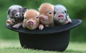 Image result for Teacup pig