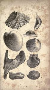 1789 best shells images on Pinterest | Sea shells, Clam shells and ...