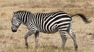 Di antara hitam dan putih, ilustrasi (photo by berk ozdemir from pexels)sesulit apapun masalah yang kita hadapi, ketika kita mencoba menuangkannya mel. Tag Warna Garis Hitam Putih Di Tubuh Zebra Ternyata Punya Arti Simak Penjelasan Ilmuwan Ini Tribun Batam