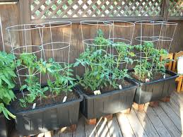 container gardening tomatoes. Brilliant Container 7 Tips For Container Garden Success Thegoodstuff Tomato Throughout Gardening Tomatoes L