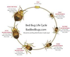 Size Of Bed Bugs Chart Bed Bug Life Cycle