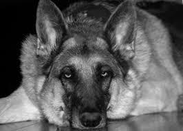 black and white german shepherd photography. Plain White Image 0 For Black And White German Shepherd Photography K