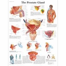 Health Chart For Men The Prostate Gland Chart