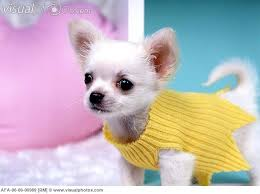 Image result for chihuahua in yellow jumper