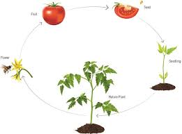 Tomato Seed Growth Chart