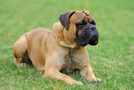 Bullmastiff Growth Chart Pitbull Mastiff Mix Complete Guide To This Powerful Mastiff Mix