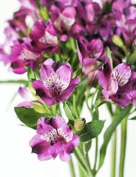 sometimes mistaken to be miniature lilies the alstroemeria can be easily recognised by the dark markings in their trumpet shaped heads