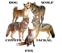 Wolf Vs Dog Size Chart Difference Between Dog Wolf Jackal Coyote And Fox Hubpages