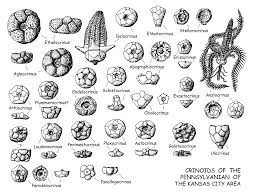 Common Fossils Google Search
