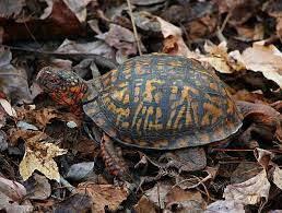 box turtle size how to care for pet eastern box turtles