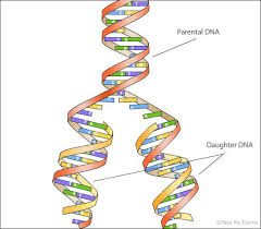 Making New Dna And Dna Replication Pass My Exams Easy Exam