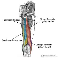 Image result for label the hamstrings quiz