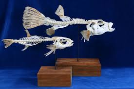 parrot fish articulated skeletons sparisoma chrysopterum 24 x 36 x 12cm 2