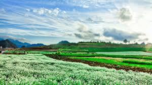 Kinh nghiệm du lịch Mộc Châu ngắm hoa cải nở trắng đồi | Du lich TTC TRAVEL