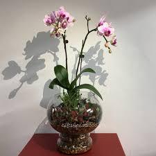 erfly phalaenopsis orchid gl vase terrarium