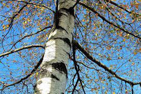 Silver Birch (Betula pendula) Bareroot | UK Delivery | Naturescape