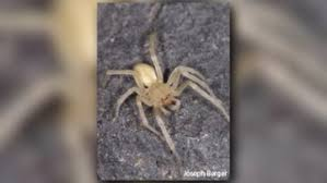 These Venomous Spiders Are Found In Western Washington