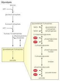 10 Steps Of Glycolysis Psychedelic Art Biology School Biochemistry