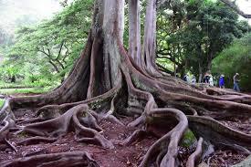 allerton garden reviews. allerton garden: giant fig trees, remember them from the 1st jurassic park movie? garden reviews g