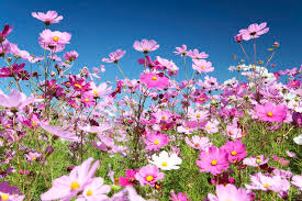 Image result for picture of cosmos flower
