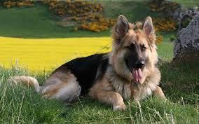 German Shepherd Dog Wallpapers ...