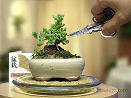 Image Easy Image Unavailable Amazoncom Amazoncom Mini Indoor Bonsai Tree For Home Or Office Desk By
