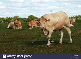 Light Livestock Light Brown Beige Cow Cows Cattle Calf Livestock Herd Farm
