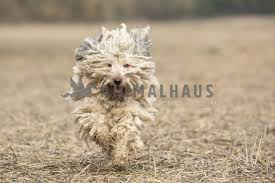 Hungarian Puli Dreadlock dog in motion ...