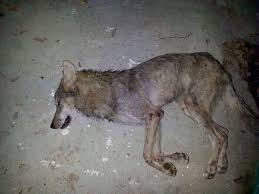 emaciated wolf. Contemporary Emaciated Hereu0027s A Picture Of The Wolf That Attacked Them  With Emaciated Wolf E