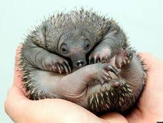 baby puggle echidna. Fine Puggle Echidna Puggles Born At Perth Zoo Inside Baby Puggle