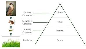 food web pyramid food chains food webs and energy pyramids texas gateway