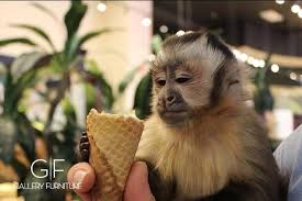 Monkey Around With Gallery Furniture This Week ficial Blog of