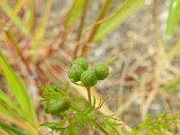 Bifora testiculata