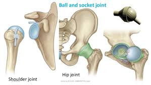 ball and socket joint. 20. shoulder joint hip ball and socket